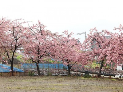 Hoa đào Nhật Bản nở sớm